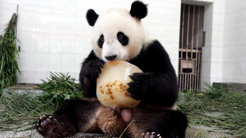 Un oso panda de la reserva Wolong se refresca con un bloque de hielo en el centro de investigación de Fuzhou, en la provincia china de Fujia