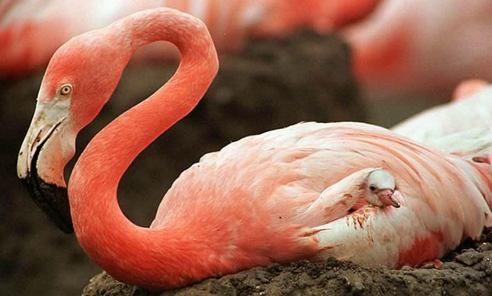 Afortunadamente, ninguna subespecie de flamenco está en la Lista Roja. Vive en África, Asia, Europa y América; consume insectos, camarones, algas y pequeñas plantas.