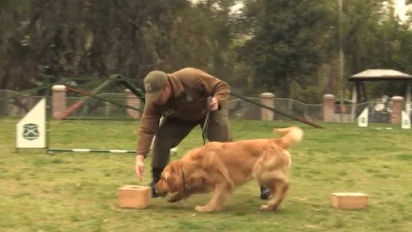 Estos cachorros entrenan duro para ser los policías del futuro en Chile