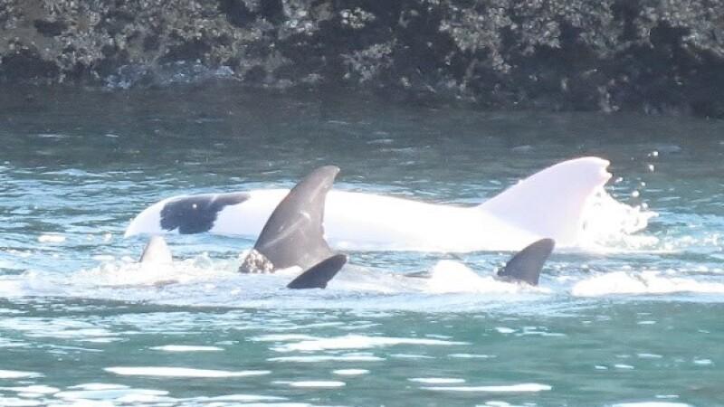 delfin albino