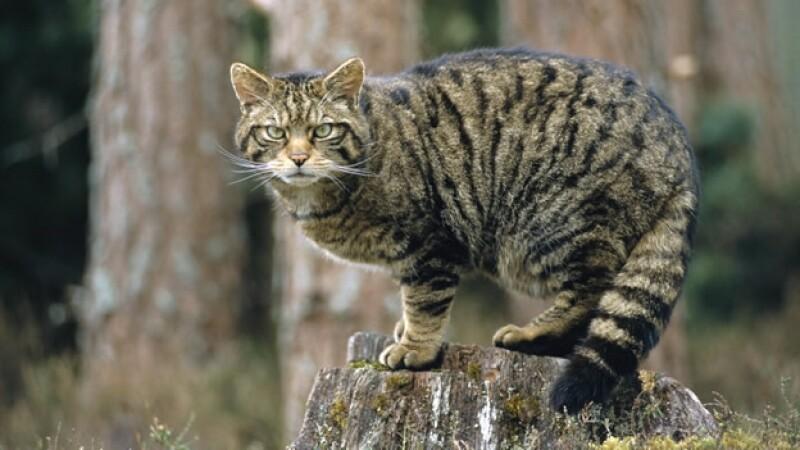 gatos ecosistema predadores