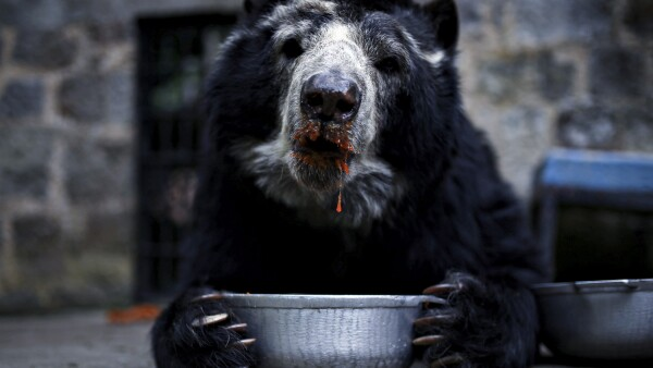 A spectacled bear eats fruit inside a cage at Santa Cruz Zoo in San Antonio del Tequendama