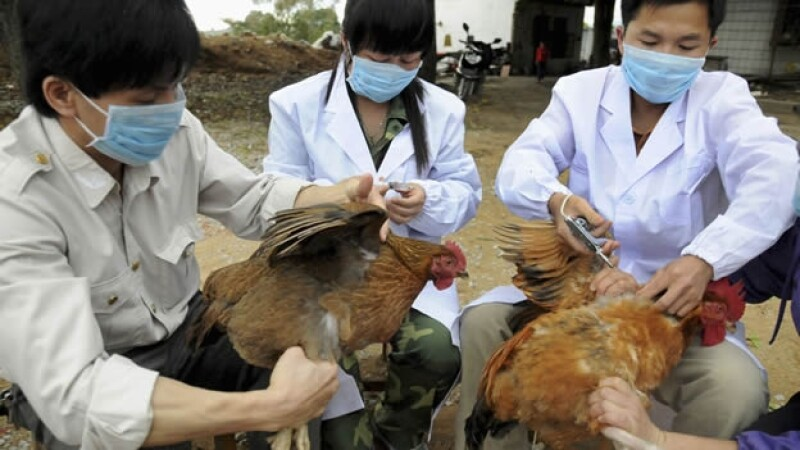 Veterinarios gripe aviar