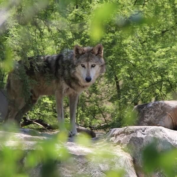 La hembra de lobo gris con un alto valor genético, madre de las crías