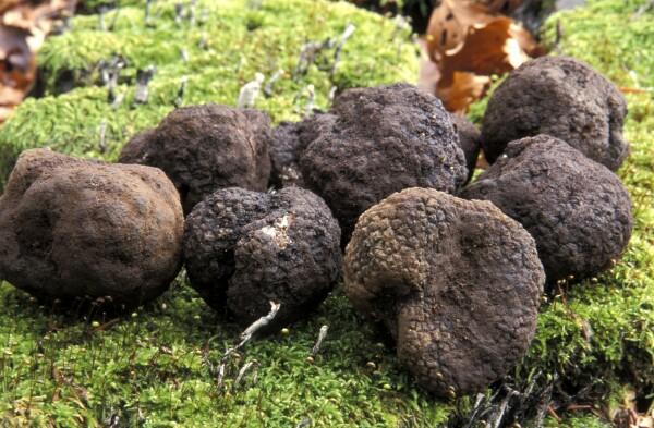 Black truffles, Italy