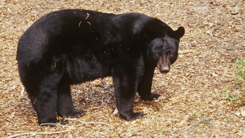 Un oso negro de Florida