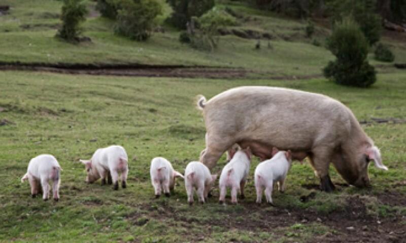 Se espera que la diarrea porcina cause una caída de 9.7% en la producción de carne de cerdo en México.  (Foto: Getty Images)
