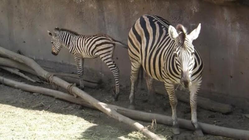 cebra recien nacida en el zoologico de san juan de aragon