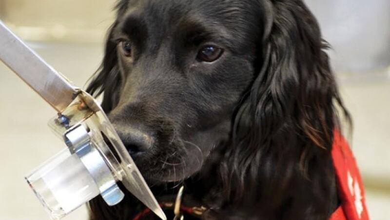 perro olfato cancer