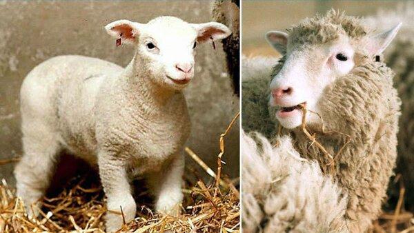'Dolly' no fue el primer ni único animal en ser clonado.
