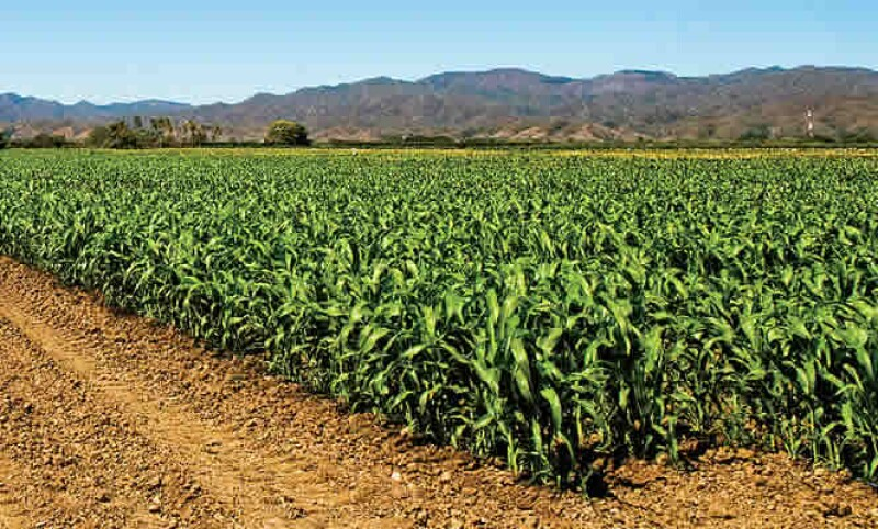 México dio luz verde a dos permisos para siembra experimental de maíz transgénico el jueves, pero el nuevo negocio quedará en manos de trasnacionales como Monsanto pues científicos nacionales perdieron proyectos tras una década de moratoria de facto.