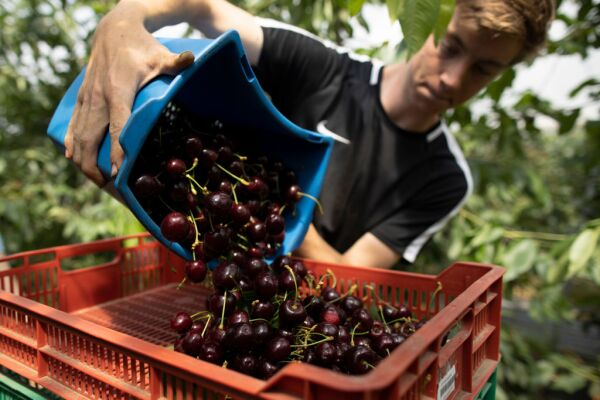 Cherries Harvested In The UK