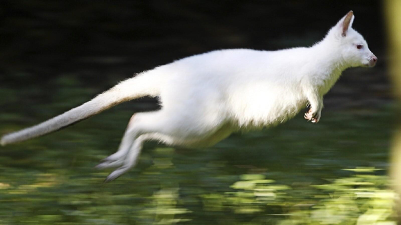 Canguro, albino, 2