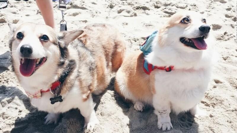 perro corgi dia en la playa california