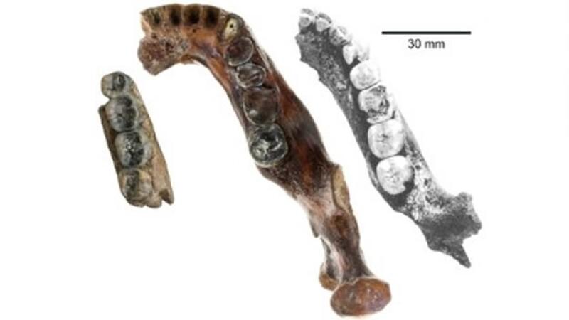 manidbula fosil hominido