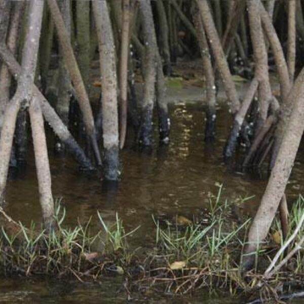 Los manglares son los riñones del planeta