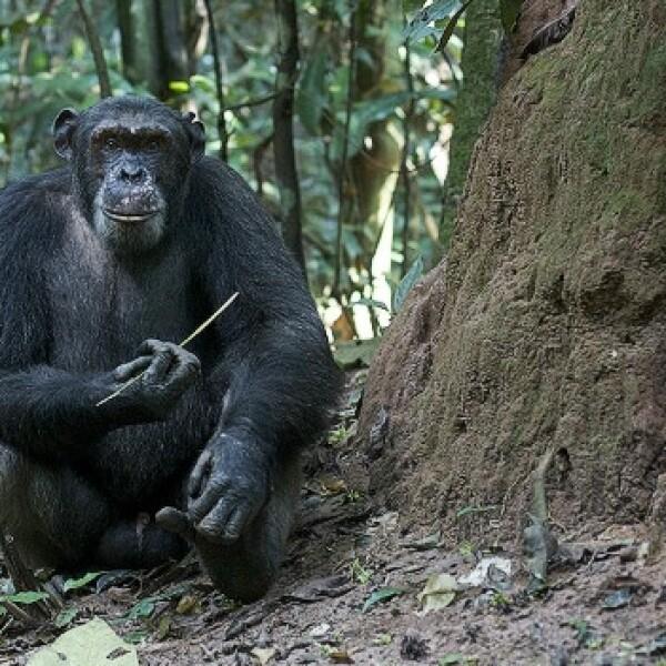 chimpancés congo protección 04