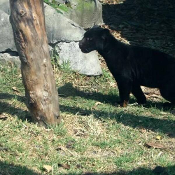 jaguar negro chapultepec 02