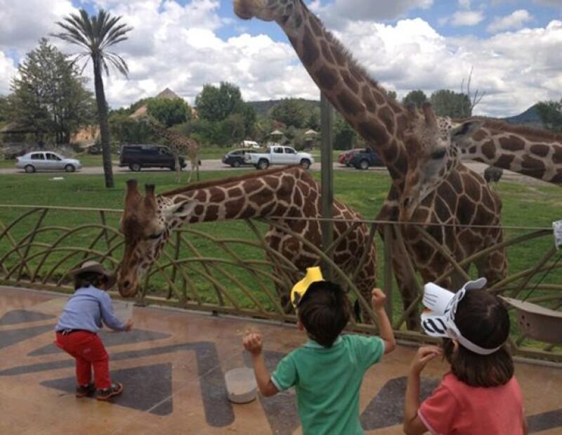 Los pequeños se dieron el tiempo de convivir con los distintos animales que se encontraban ahí, como canguros, jirafas y leones.