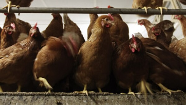Reforzará de forma inmediata el suministro de huevo incubable, afirmó Bachoco. (Foto: AP)
