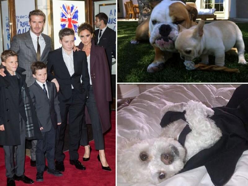 Coco y Scarlett son de la raza Bulldog, el primero inglés y la segunda francesa. Harry es este adorable Poodle.