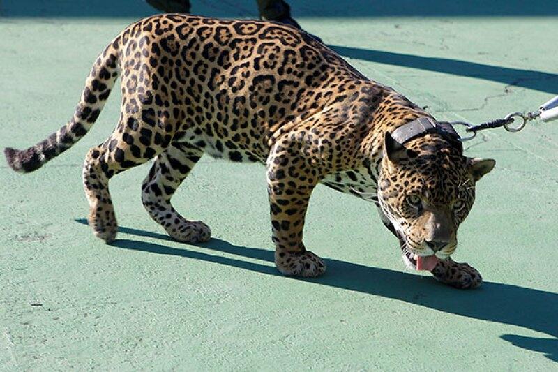 Juma representaba a Ginga, la mascota de Río.