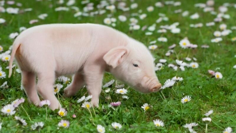 cerdo miniatura teacup