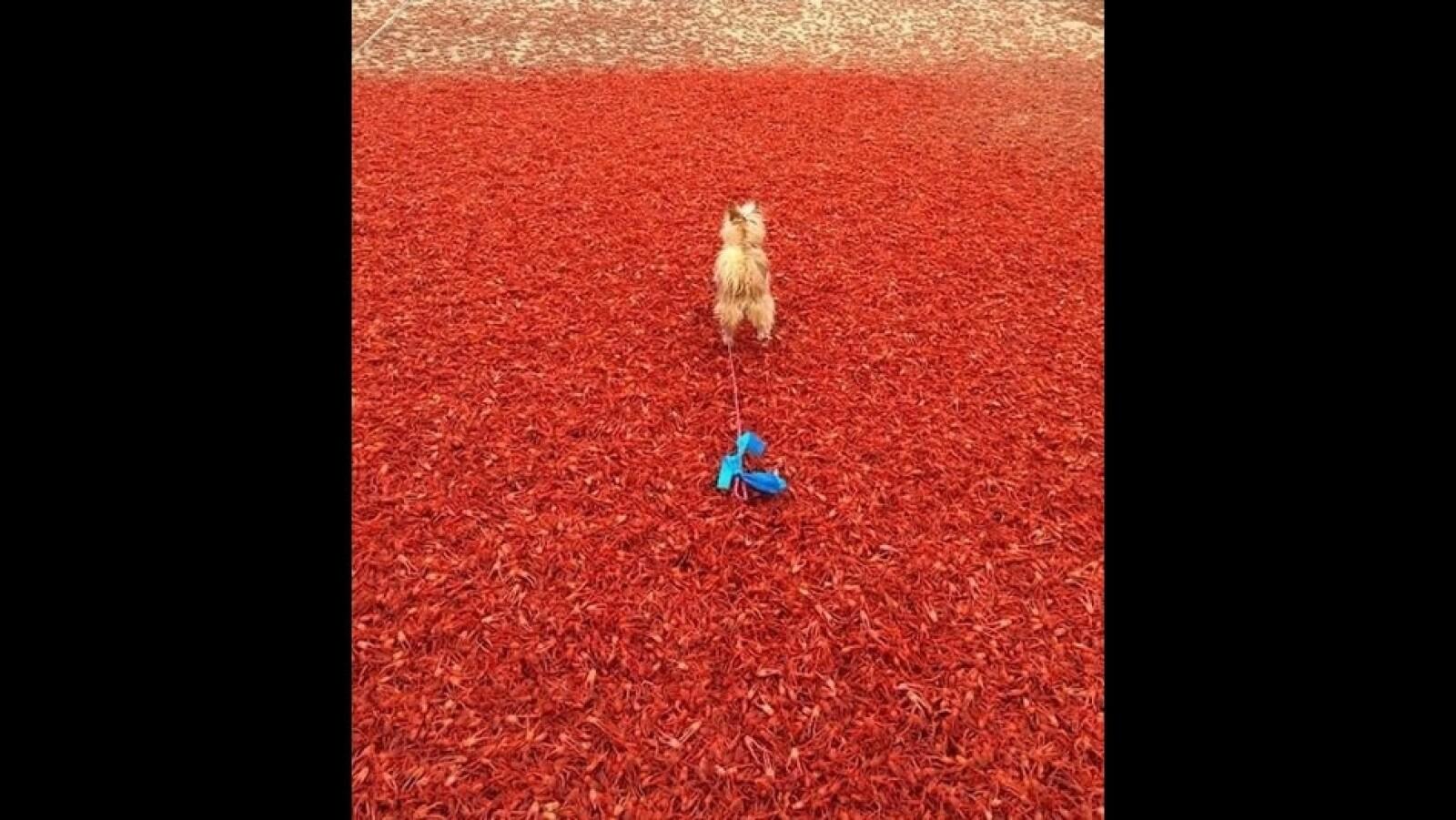 Cangrejos rojos playa California perro