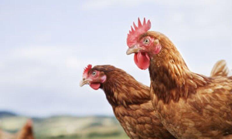 La UNA indicó que el número de gallinas ponedoras afectadas por el virus en Guanajuato representa 0.25% de la producción nacional de huevo. (Foto: Getty Images)