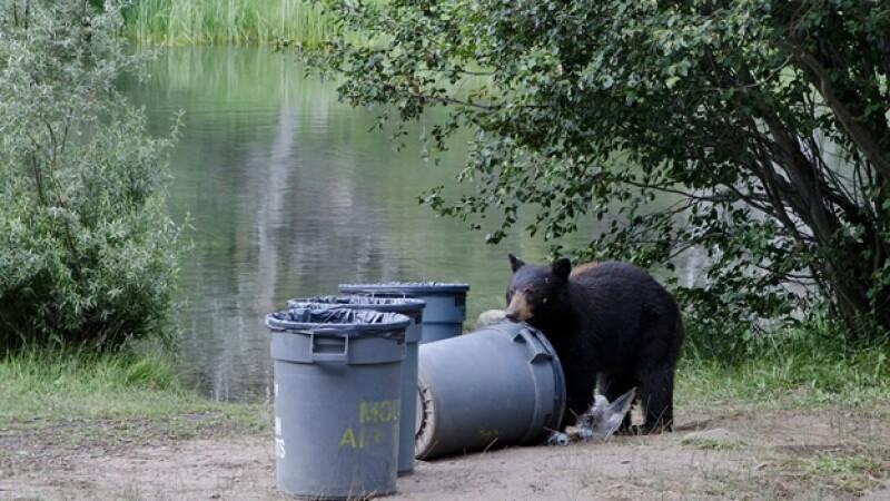 oso negro, basura