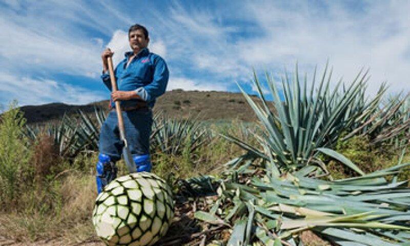 El jimador Don Pedro Chávez lleva 20 años trabajando en Don Julio (Foto: Ana Blumenkron)
