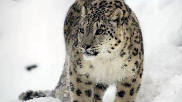 Se estima que hay de 4,500 a 10,000 de estos felinos en las montañas de Asia.