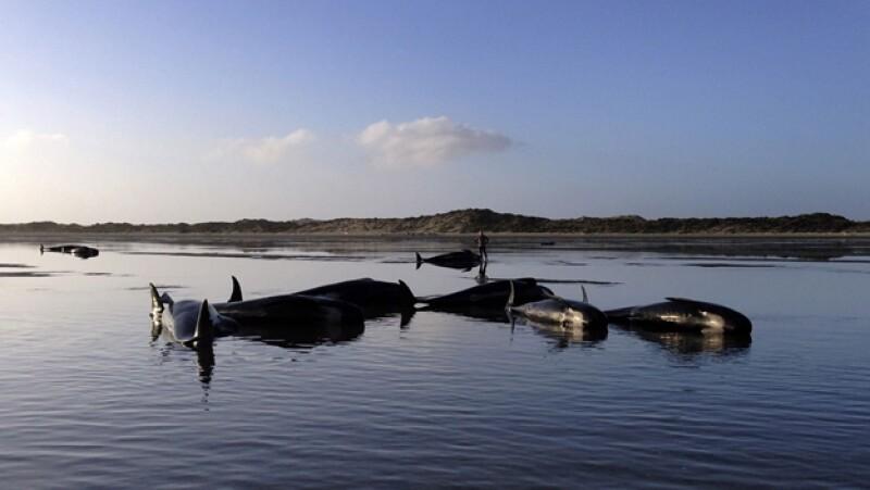 ballenas varadas nueva zelanda