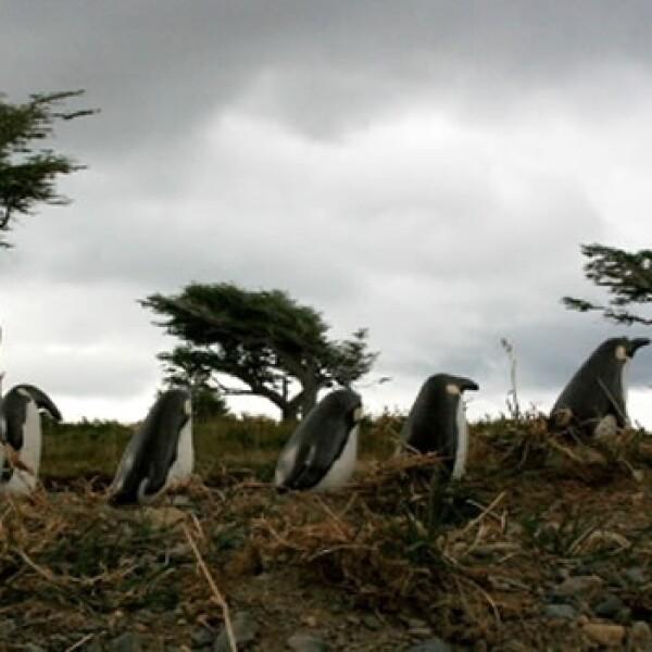 pingüinos centígrados y paralelos 04