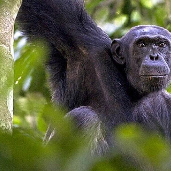 chimpancés congo protección 02