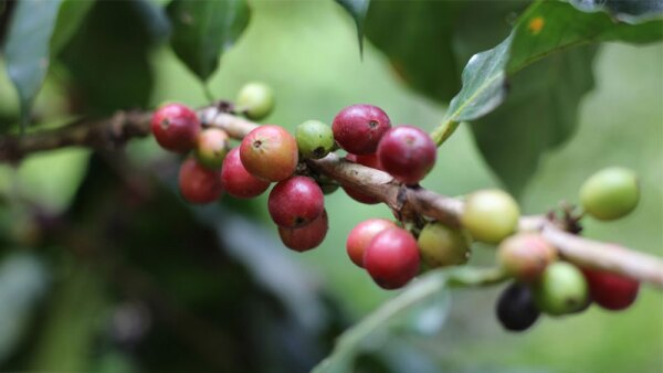 Cerezas de café (Foto: Shutterstock)