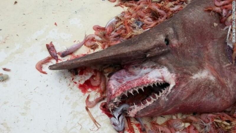 Carl Moore tiburón duende NOAA