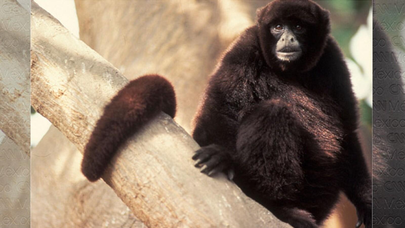 La mitad de los primates en el mundo en riesgo de extinción