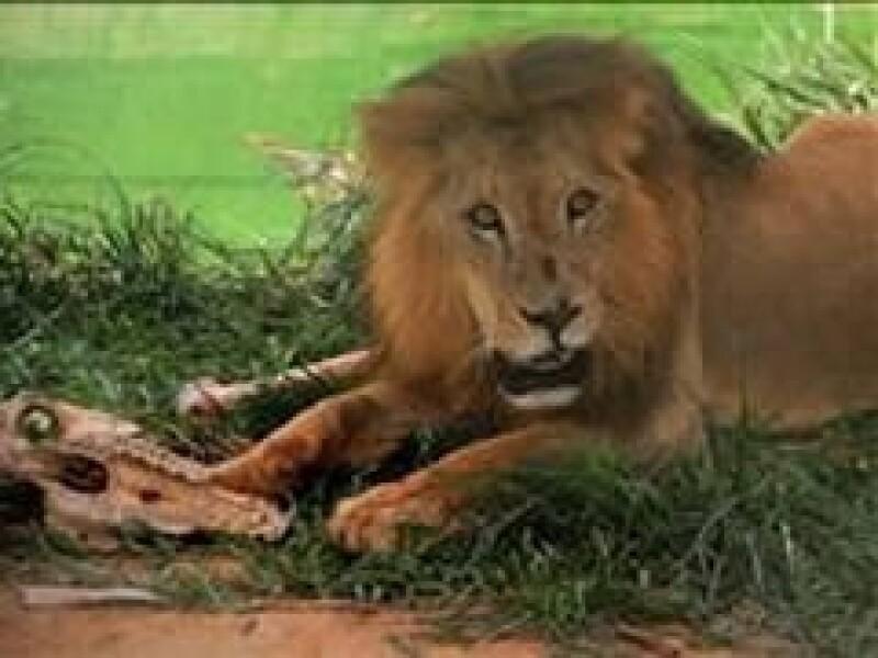 El león estaba en una de las varias haciendas del ex paramilitar.  (Foto: EFE)