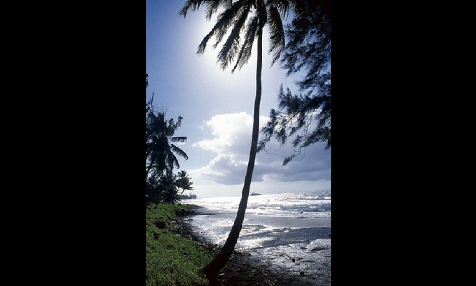 En las playas de Tahití es muy comun ver palmeras con el tronco curvo, como si quisieran estar más cerca del mar.