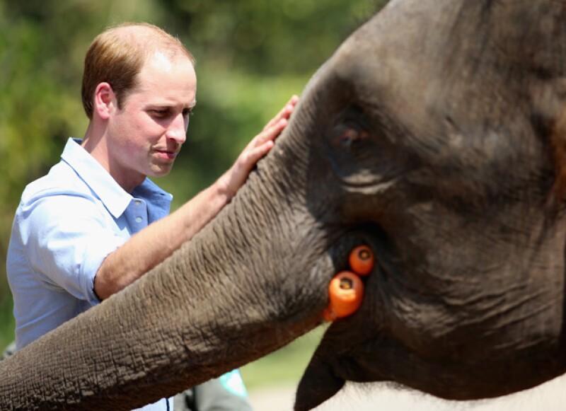 La elefanta de 13 años, a la que el esposo de Kate Middleton alimentó, fue rescatada luego que se lastimara en una trampa.