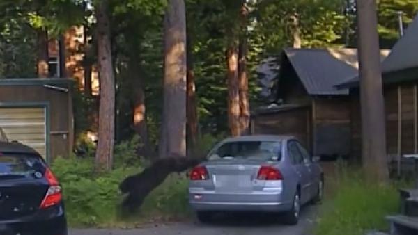 Este oso quedó atrapado en un auto y fue liberado mediante varios disparos