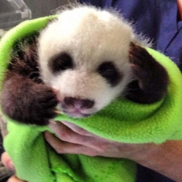 panda atlanta gemelos
