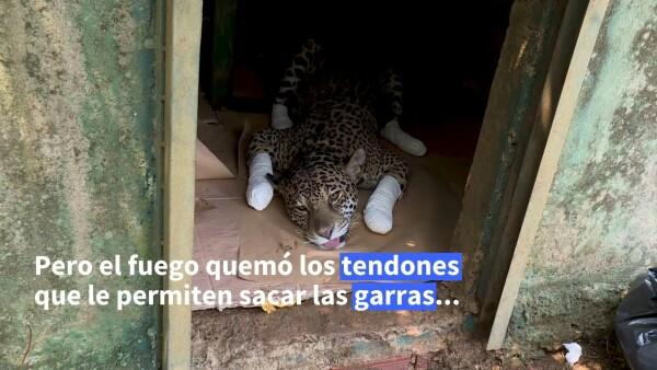 Las secuelas de un jaguar herido por el incendio del Pantanal brasileño