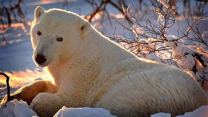 Osos polares en Manitoba