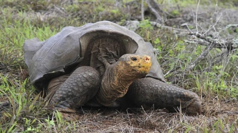tortuga gigante de la española Galapagos