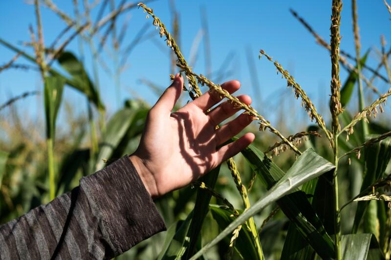 El nuevo enfoque utilizado por Cibus Global para modificar los cultivos podría ganar la aprobación de los activistas ambientales. (Foto: Jupiter Images)