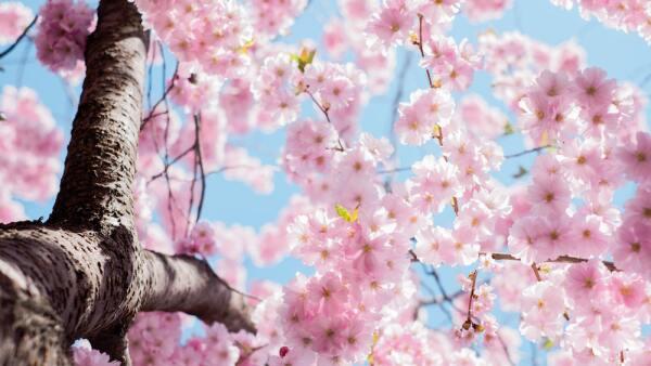 estocolmo-cherry-blossom.jpg