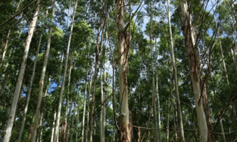 Proteak compró plantaciones de eucalipto, que tarda tres años en levantarse, para fabricar páneles aglomerados. (Foto: Getty Images)