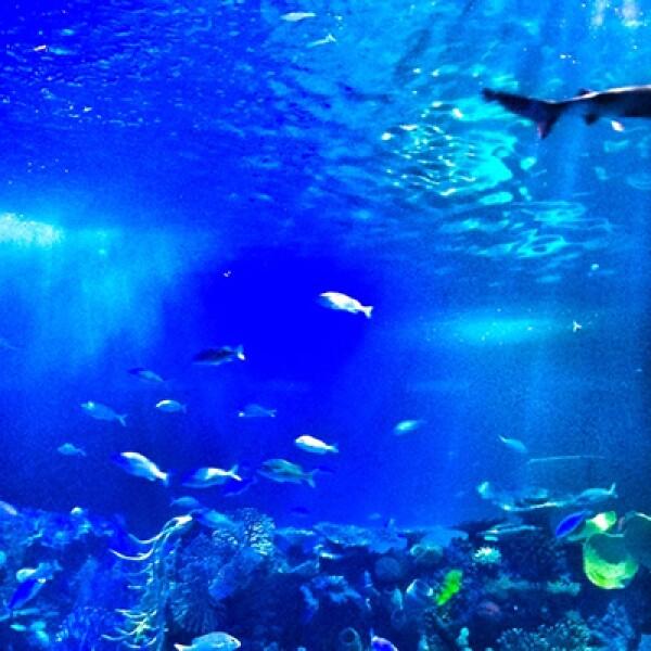 los tiburones, tortugas, caballitos de mar, pirañas, medusas, corales y barracudas que se podrán apreciar en 48 diferentes exhibiciones.